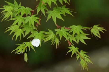 もみじの新緑と桜の花びら♪