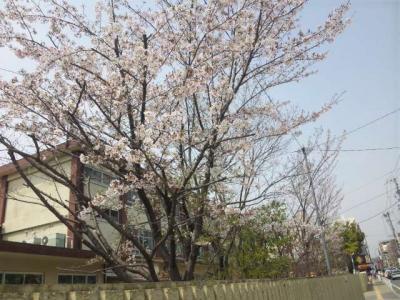 近所の桜♪