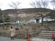 deers in front of wakakusayama