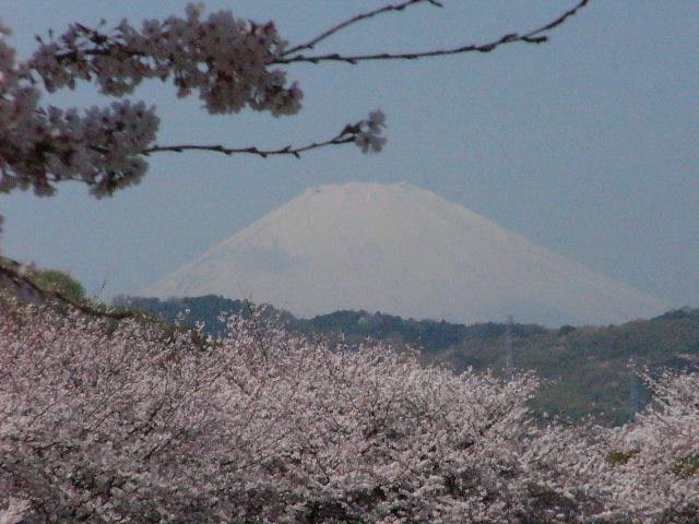 金目川の桜