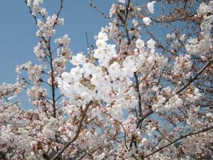 更にちょっと南下桜