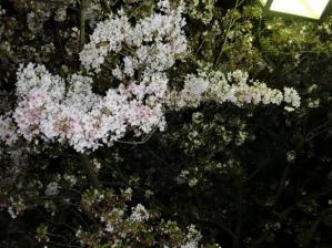 まだ綺麗な夜桜