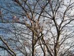 昨日と同じ桜