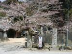 ロードショー法華山の桜