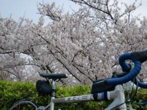 赤穂御崎桜2