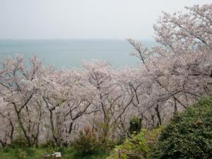 赤穂御崎桜3