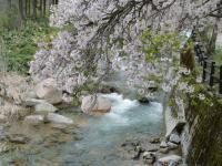 ちくさ桜1
