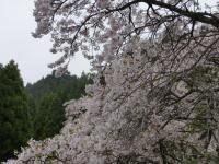 ちくさ桜2