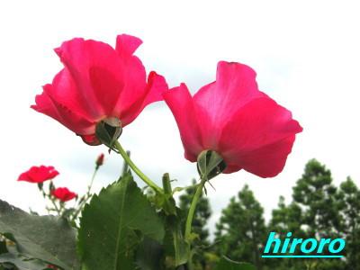 070529新宿御苑ピンク薔薇