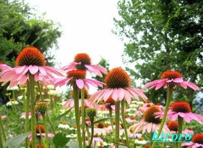070809エキナセアの花