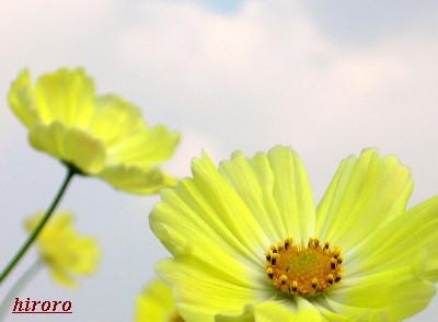 0610昭和記念公園・秋桜