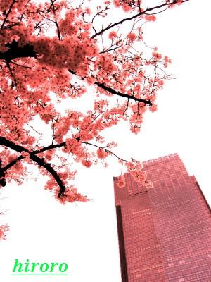 070830東京ミッドタウンと桜