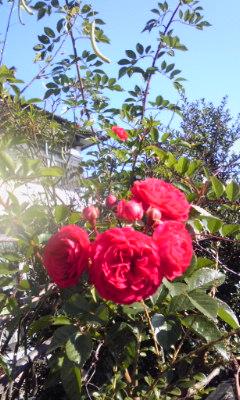 自宅の薔薇