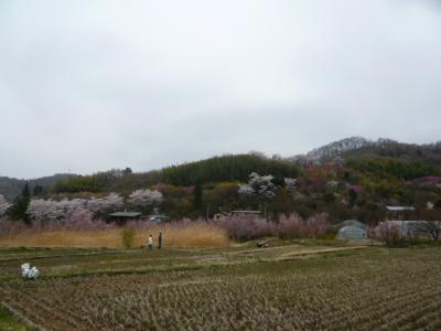 福島市の花見山6