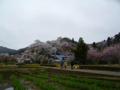 福島市の花見山7