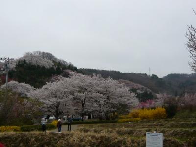 福島市の花見山8