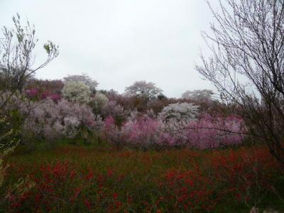 福島市の花見山9