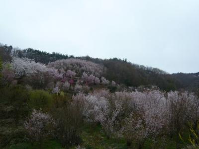 福島市の花見山10
