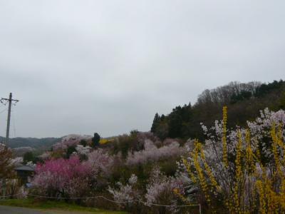 福島市の花見山27