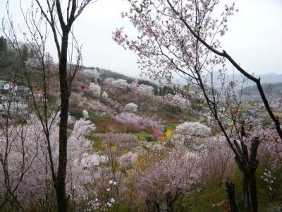 福島市の花見山13