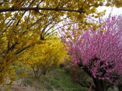 福島市の花見山14