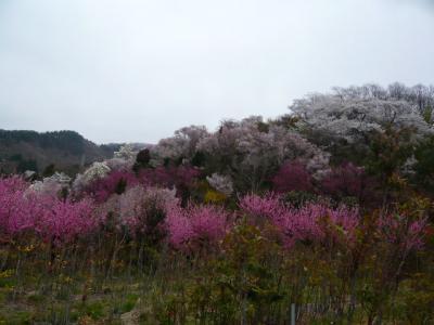 福島市の花見山15