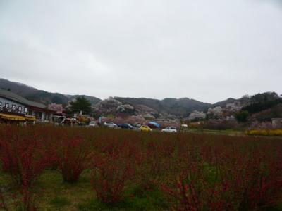 福島市の花見山24