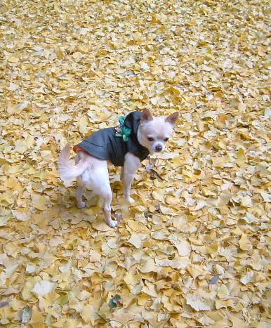 イチョウの葉っぱ絨毯