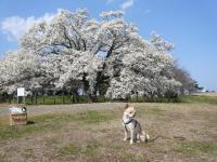 満開のこぶしの木