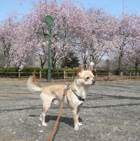 柏の葉公園 しだれ桜