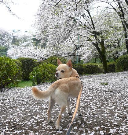 岩槻公園 お花見
