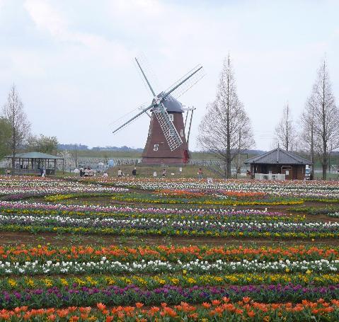 あけぼの山 チューリップ畑