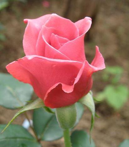 rose261.jpg