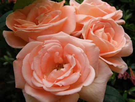 rose262.jpg