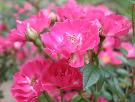 rose263.jpg