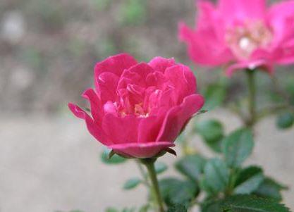 rose264.jpg