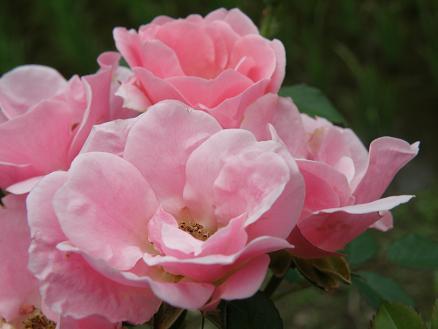 rose265.jpg