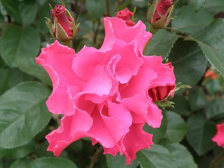 rose671.jpg