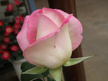 rose6710.jpg