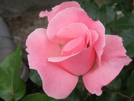 rose6711.jpg