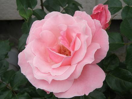 rose6712.jpg