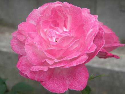 rose6713.jpg