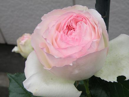 rose6714.jpg