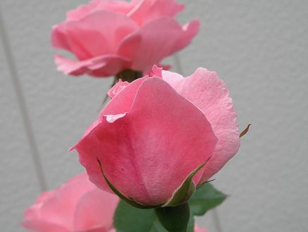 rose6716.jpg