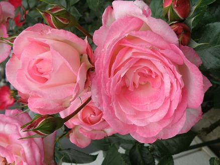 rose6717.jpg