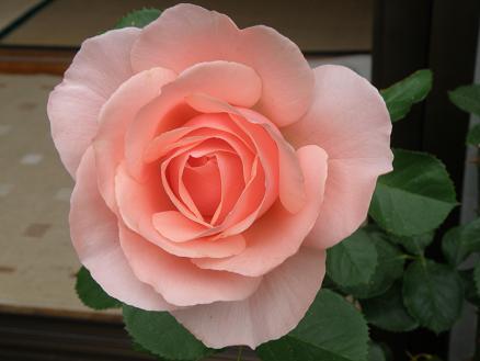 rose672.jpg