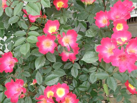 rose6720.jpg