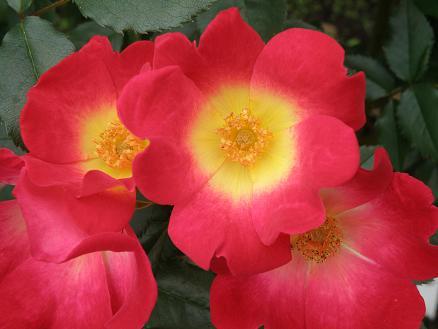 rose6721.jpg