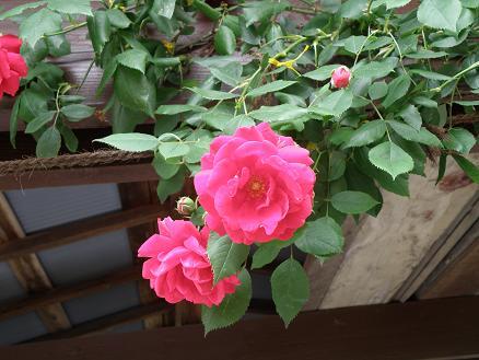 rose6722.jpg