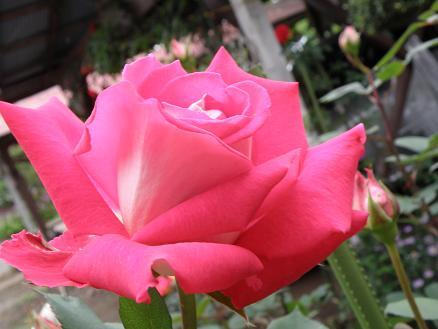 rose673.jpg